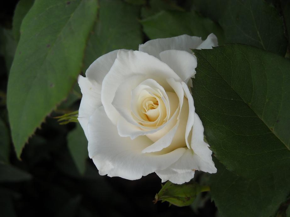 bela ruza